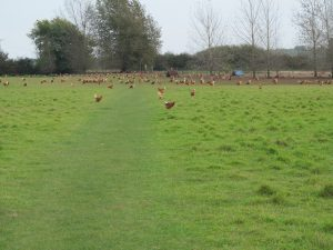 Lots of free range hens!