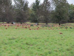 Free range chickens!