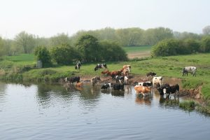 Cows by the River Trent